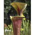 Schlauchpflanzen ´Sarracenia flava var. Rubricorpora (020018)'