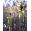 Schlauchpflanzen ´Sarracenia flava var. Rugelii (020020)'