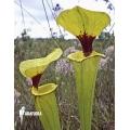 Schlauchpflanzen ´Sarracenia flava var. Rugelii (960020)'