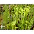 Schlauchpflanzen ´Sarracenia flava'