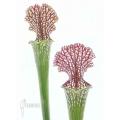 Schlauchpflanzen ´Sarracenia leucophylla (050024)'