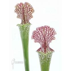 Sarracenia leucophylla (050024)