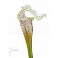 Schlauchpflanzen ´Sarracenia leucophylla 'Big head'