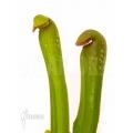 Schlauchpflanzen â'Sarracenia minor 'Okefenokeensis'