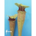 Schlauchpflanzen ´Sarracenia oreophila (Dark clone)'