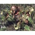 Schlauchpflanzen ´Sarracenia purpurea ssp venosa 'Burkii' (050038)'