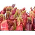 Schlauchpflanzen ´Sarracenia purpurea var. purpurea (M)'