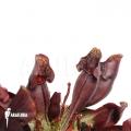 Schlauchpflanzen ´Sarracenia purpurea var. Purpurea'