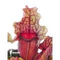 Schlauchpflanzen ´Sarracenia purpurea var. venosa 'Clementina'