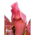 Schlauchpflanzen ´Sarracenia purpurea var. venosa 'Red'