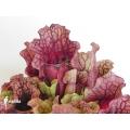 Schlauchpflanzen ´Sarracenia purpurea var. venosa 'Sylwia'