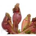 Schlauchpflanzen ´Sarracenia purpurea var. purpurea (XL)'