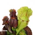 Schlauchpflanzen ´Sarracenia purpurea var. venosa (M)'