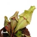 Schlauchpflanzen ´Sarracenia purpurea var. Venosa'