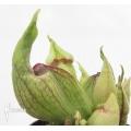 Schlauchpflanzen Sarracenia purpurea (Schlumpfe)