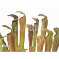 Schlauchpflanzen ´Sarracenia rubra ssp rubra'