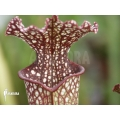 Schlauchpflanzen ´Sarracenia x farhamii'