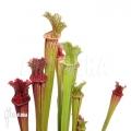 Schlauchpflanzen ´Sarracenia x farnhamii (M)'