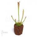 Schlauchpflanzen ´Sarracenia x leucophylla (S)'