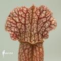 Schlauchpflanzen ´Sarracenia x leucophylla hybrid B'