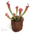 Schlauchpflanzen ´Sarracenia x leucophylla hybrid type B'