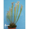 Schlauchpflanzen ´Sarracenia x leucophylla hybrid (Snow White)'