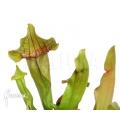 Schlauchpflanzen ´Sarracenia x purpurea hybrid A (M)'