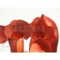 Schlauchpflanzen ´Sarracenia x purpurea (Barbapapa)'