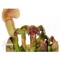 Schlauchpflanzen ´Sarracenia x Barbapapa'