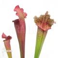 Schlauchpflanzen ´Sarracenia x 'Jutha tip Soper' (XL)'