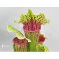 Schlauchpflanzen ´Sarracenia x (Rene)'
