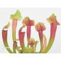 Schlauchpflanzen ´Sarracenia x (Smoorie)'