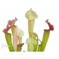 Schlauchpflanzen ´Sarracenia x (Velvet)'