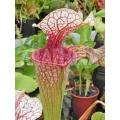 Schlauchpflanzen ´Sarracenia 'Unique clone Araflora 01'