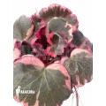 Saxifraga stolonifera tricolor