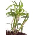 Miniatuur orchidee 'Scaphyglottis genychila'