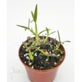 Miniatuur orchidee 'Scaphyglottis prolifera' 'S'