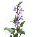 Scutellaria javanica purple flower