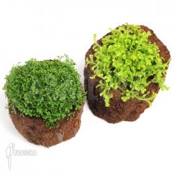 Selaginella apoda vs kraussiana 'Aurea'