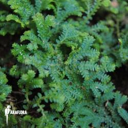 Selaginella uncinata terrariumplant