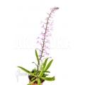 Orchidee 'Stenoglottis longifolia'