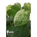 Syngonium macrophyllum 'Frosted heart'