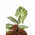 Syngonium podophyllum 'Glo go'