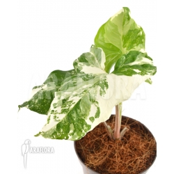 Syngonium podophyllum Specie variegated RT