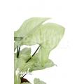 Syngonium podophyllum arrow 'XL'
