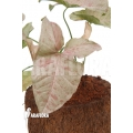 Syngonium podophyllum 'pink' variegated Type B