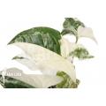 Syngonium podophyllum variegated