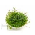 Taxiphyllum 'Flame moss' 'Starter'