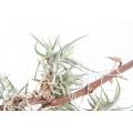 Bromelien 'Tillandsia bandensis'