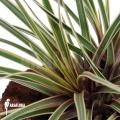 Bromelien 'Tillandsia cyanea' 'variagated'